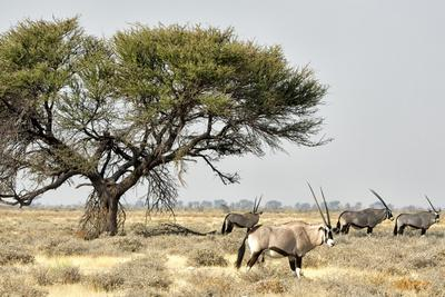 Namibia, Etosha National Park. Five Oryx and Tree