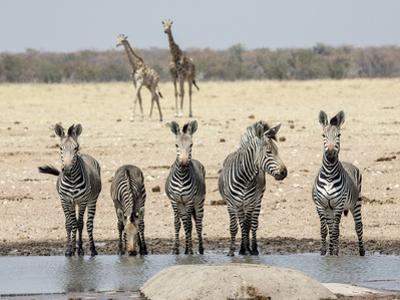 Namibia, Etosha National Park. Five Zebras and Giraffes at Waterhole by Wendy Kaveney