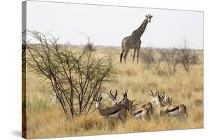 Namibia, Etosha National Park. Giraffe and Springboks by Wendy Kaveney