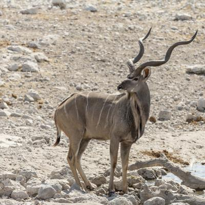 Namibia, Etosha National Park. Male Kudu by Wendy Kaveney