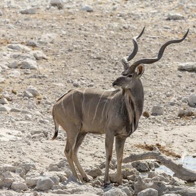 Namibia, Etosha National Park. Male Kudu