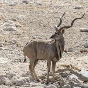 Namibia, Etosha National Park. Male Kudu by Wendy Kaveney