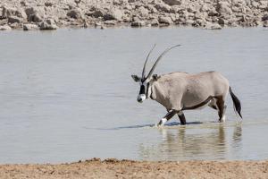 Namibia, Etosha National Park. Oryx Wading in Waterhole by Wendy Kaveney