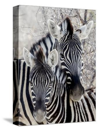 Namibia, Etosha National Park. Portrait of Two Zebras