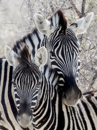 Namibia, Etosha National Park. Portrait of Two Zebras by Wendy Kaveney