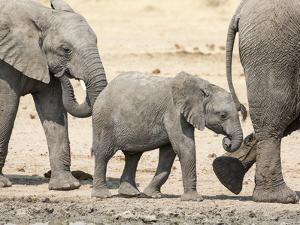 Namibia, Etosha NP. Baby Elephant Walking Between Two Adults by Wendy Kaveney