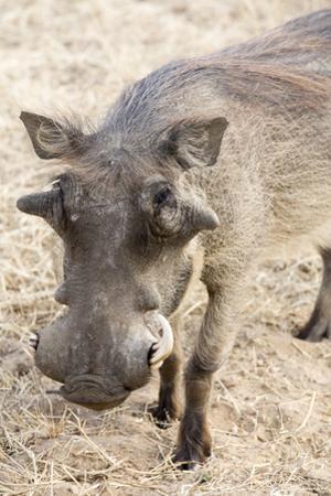 Namibia, Windhoek, Okapuka Ranch. Close-up of Warthog