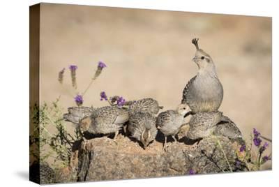 USA, Arizona, Amado. Female Gambel's Quail with Chicks