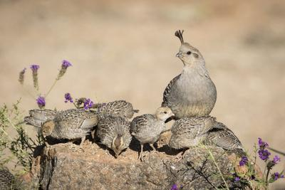 USA, Arizona, Amado. Female Gambel's Quail with Chicks