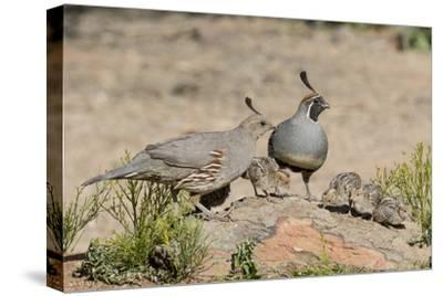 USA, Arizona, Amado. Male and Female Gambel's Quail with Chicks