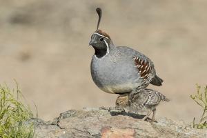 USA, Arizona, Amado. Male Gambel's Quail with Chick by Wendy Kaveney