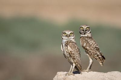 USA, Arizona, Buckeye. a Pair of Burrowing Owls
