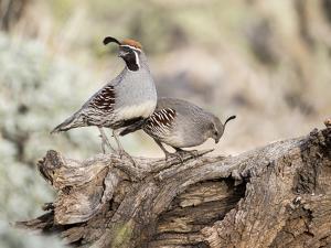 USA, Arizona, Buckeye. Male and Female Gambel's Quail on Log by Wendy Kaveney