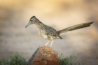 USA, Arizona, Santa Rita Mountains. a Greater Roadrunner on Rock