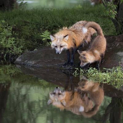 USA, Minnesota, Sandstone. Red fox and kit reflected in water's edge.
