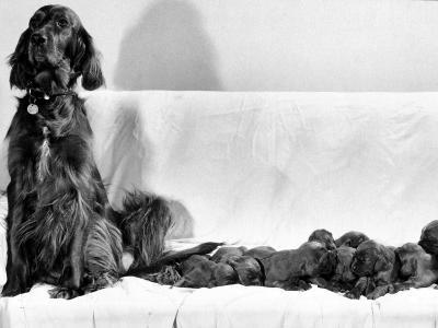Wendy My Pride a Red Setter with a Litter of Eleven New Born Puppiesy London, December 1968--Photographic Print