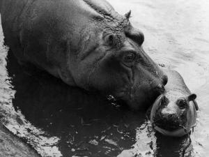 Wendy's Little Wanda: Wanda the Baby Hippo Shy When Making First Public Appearance on Tuesday