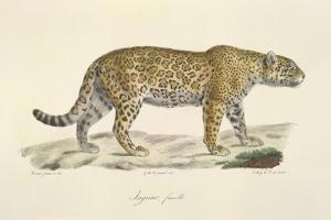 A Jaguar by Werner