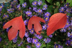 Silky Sassafras, Sassafras Albidum, Leaves, Wild Chrysanthemum by Werner Layer