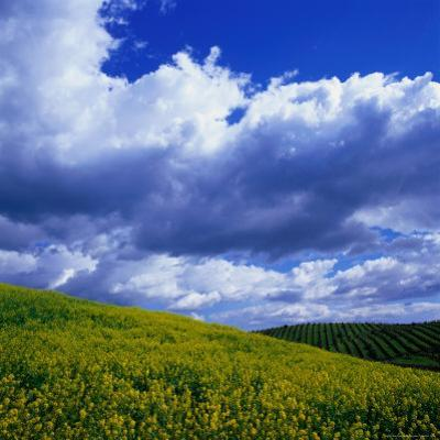 Clouds Over Yellow Mustard Crops and Vineyard, Napa Valley, USA