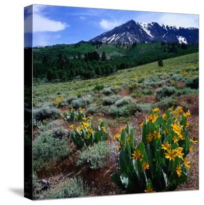 Field of Arrowleaf Balsom Root Plants with Mt. Parker Behind, USA