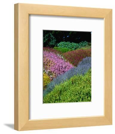 Flowering Heathers at Thompson Gardens, Mendocino, California, USA