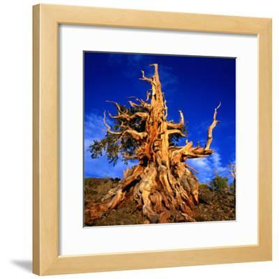Gnarled Roots and Trunk of Bristlecone Pine, White Mountains National Park, USA