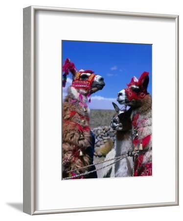 Llamas in Full Dress from the Alto Plano (High Plain) Region, Puno, Peru