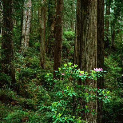 Rhododendron Bush in Front of Redwood Trees, Redwood National Park, USA