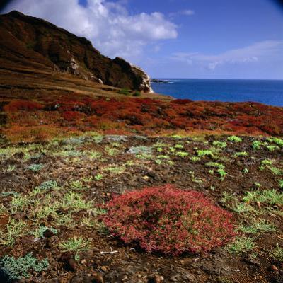 The Endemic Succulent Sesuvium at Punta Pitt, Isla San Cristobal, Galapagos, Ecuador