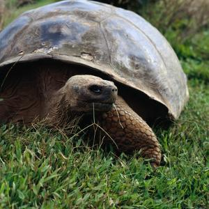 The Galapagos Tortoise is the Largest Living Tortoise, Galapagos, Ecuador by Wes Walker