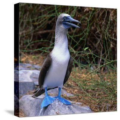 The Great Blue-Footed Booby (Sula Neboxuii), Galapagos, Ecuador