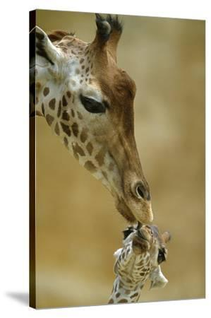 West African - Niger Giraffe (Giraffa Camelopardalis Peralta) Mother And Baby-Denis-Huot-Stretched Canvas Print