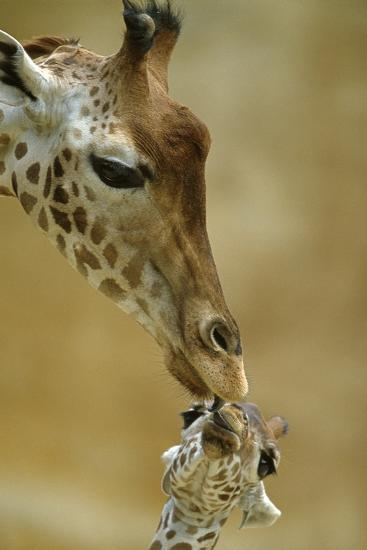 West African - Niger Giraffe (Giraffa Camelopardalis Peralta) Mother And Baby-Denis-Huot-Photographic Print