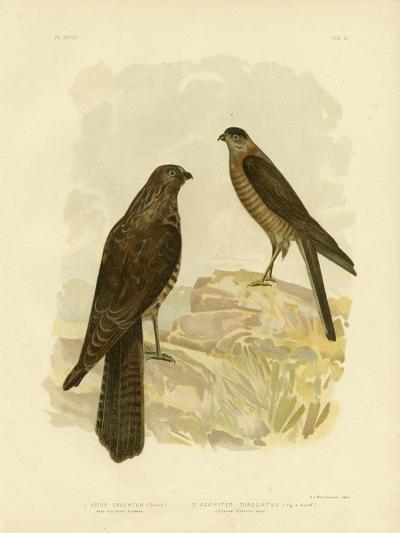 West-Australian Goshawk, 1891-Gracius Broinowski-Giclee Print