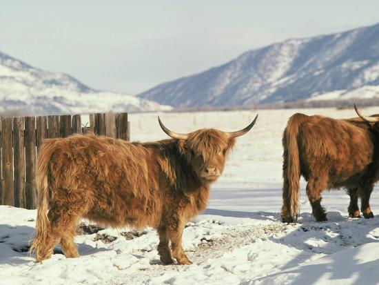 West Highland Cattle-Dick Durrance-Photographic Print