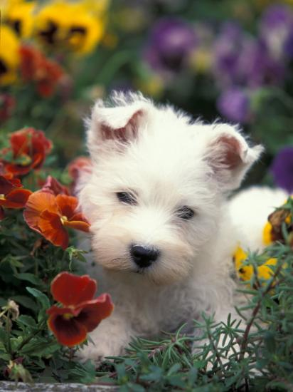 West Highland Terrier / Westie Puppy Among Flowers Photographic Print by  Adriano Bacchella | Art com