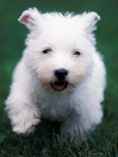 West Highland Terrier / Westie Puppy Walking-Adriano Bacchella-Photographic Print
