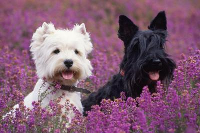 West Highland White Terrier and Scottish Terrier--Photographic Print