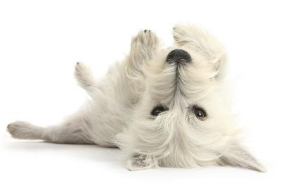 West Highland White Terrier Bitch, Milly, Lying Playfully on Her Back-Mark Taylor-Photographic Print