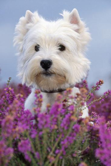 West Highland White Terrier Dog in Heather Flowers--Photographic Print