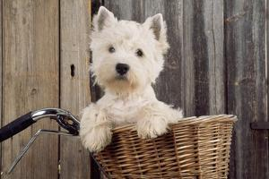 West Highland White Terrier in Bicycle Basket