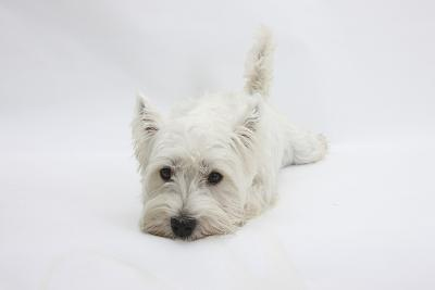 West Highland White Terrier Lying Stretched Out with Her Chin on the Floor-Mark Taylor-Photographic Print