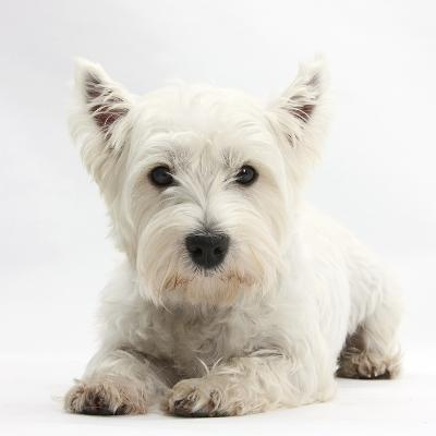 West Highland White Terrier Lying-Mark Taylor-Photographic Print
