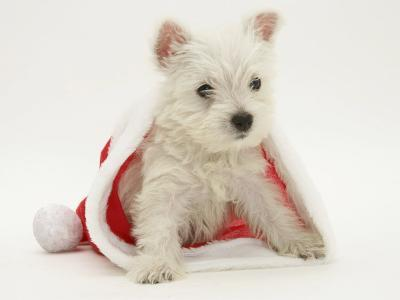 West Highland White Terrier Puppy in a Father Christmas Hat-Jane Burton-Photographic Print