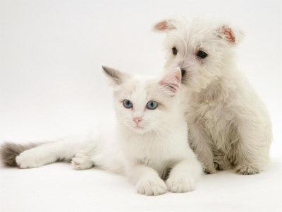 https://imgc.artprintimages.com/img/print/west-highland-white-terrier-puppy-sniffing-blue-eyed-ragdoll-cat-s-ear_u-l-q10o4h20.jpg?p=0
