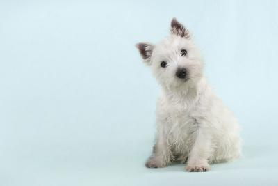 West Highland White Terrier Sitting--Photographic Print