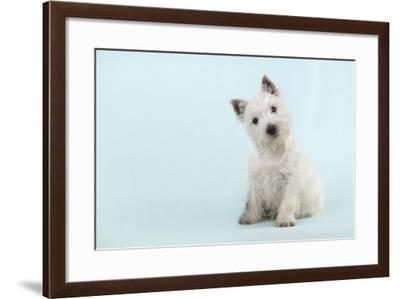 West Highland White Terrier Sitting--Framed Photographic Print