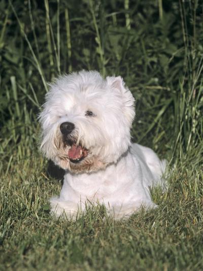 West Highland White Terrier Variety of Domestic Dog-Cheryl Ertelt-Photographic Print