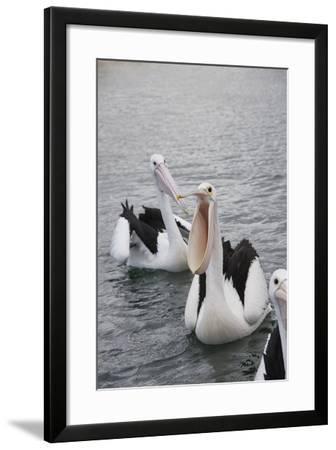Western Australia, Albany, Oyster Harbour. Australian Pelicans-Cindy Miller Hopkins-Framed Photographic Print